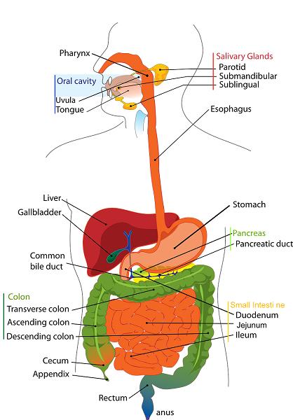 Čišćenje masne jetre